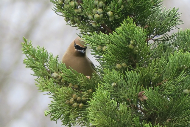 Cedar Waxwing among cedar berries