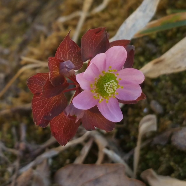Early rue anemone