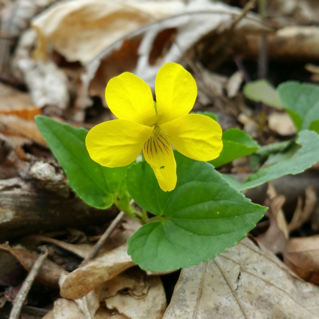 yellow violet 2