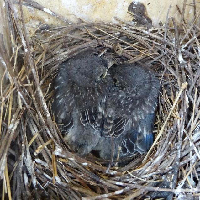 EABL 2 chicks fledge ready 0101