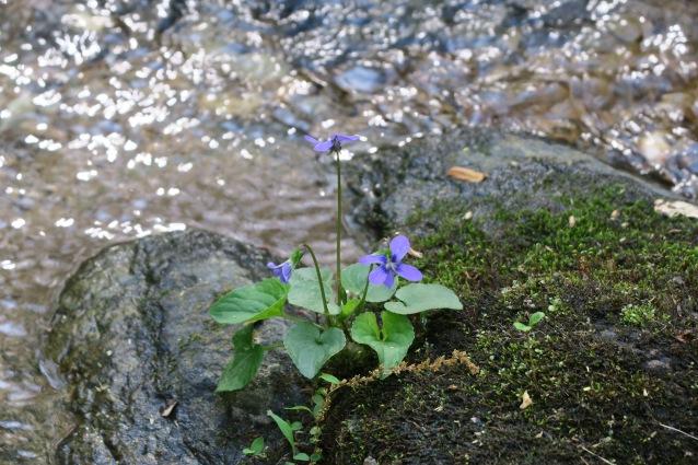 violet HZ Panther Branch stream