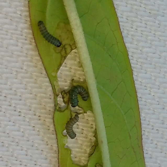 1st instar Monarch caterpillars