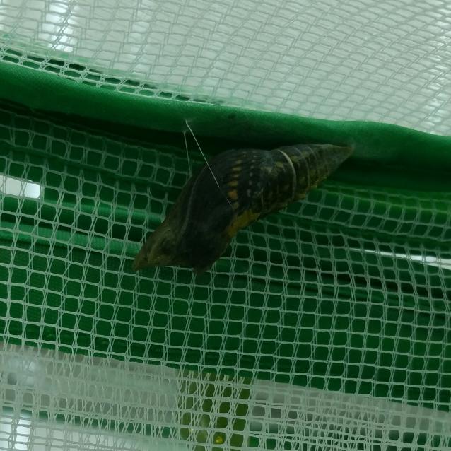 Bl Sw chrysalis transp