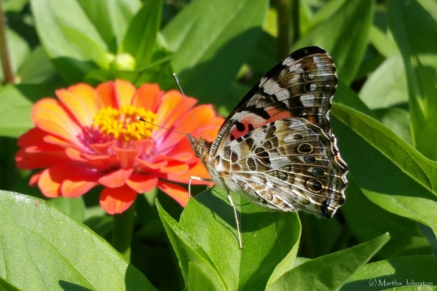 Painted Lady BF zinnia leaves mkj