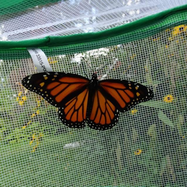 Monarch #14 Fem