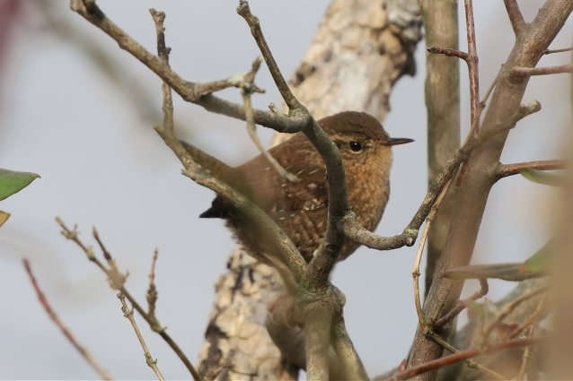 winter wren npsp