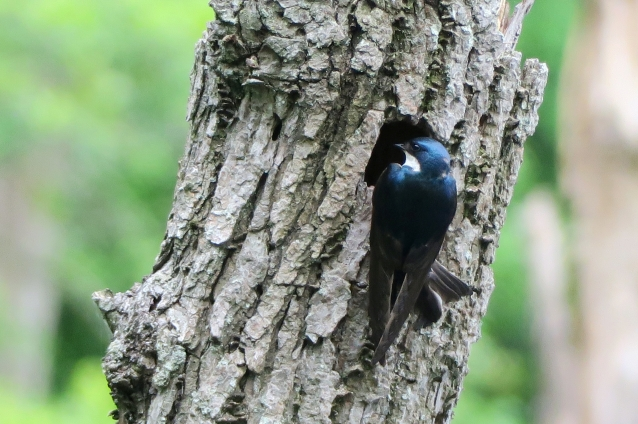 Tree swallow at cavity