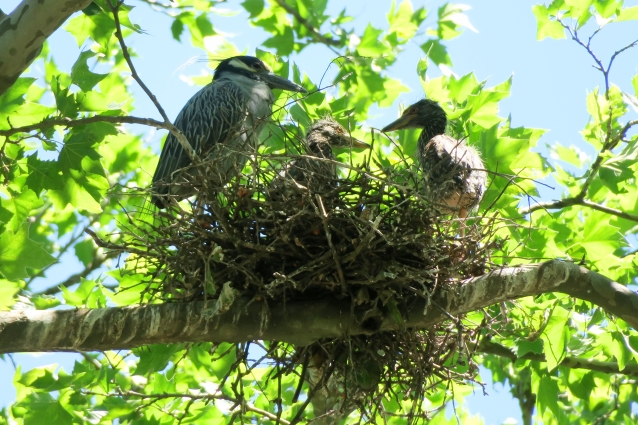 Yellow Crowned Night Heron nest2
