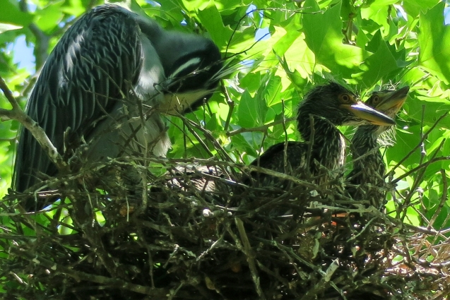 Yellow Crowned Night Heron nestlings