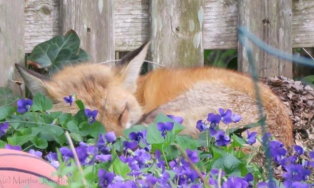 fox nap mkj