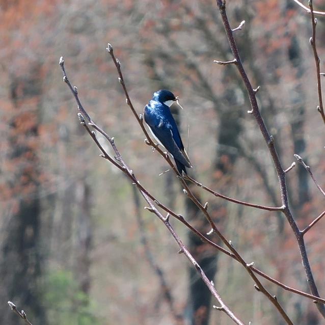 Tree swallow grass crop