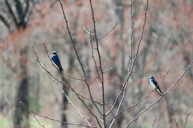 TRES pair perch nest grass2