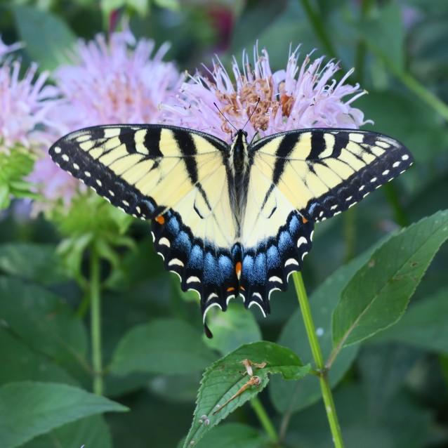 Tiger Swallowtail Fem OR.JPG